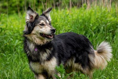 Взять собаку Аляска из приюта в дар Бирюлево