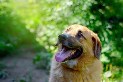 Взять собаку Босс из приюта Бирюлево