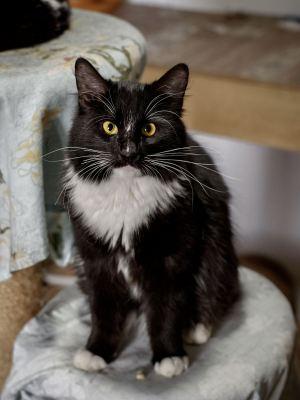 Взять кота Корсар из приюта в добрые руки Бирюлево