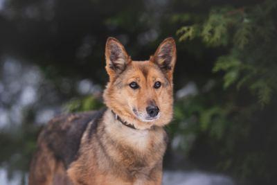 Собака Амалия из приюта в добрые руки  Бирюлево