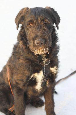 Взять собаку Броуди из приюта Бирюлево