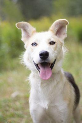 Взять собаку Аляска  в дар из приюта Бирюлево
