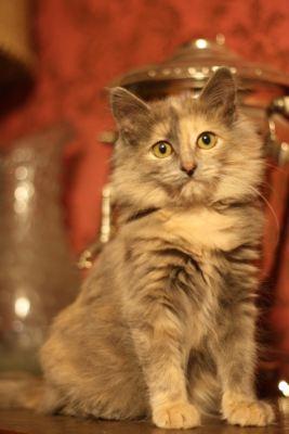 Взять кошку Тамара Субаровна из приюта в добрые руки Бирюлево