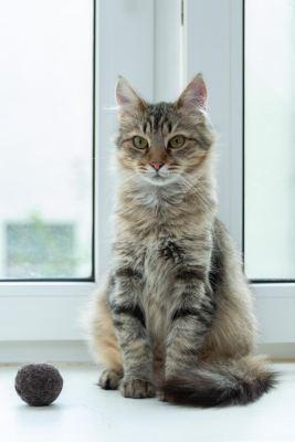 Взять кошку Сафо из приюта в дар Бирюлево